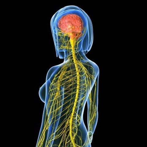 Herofilus estudia el sistema nervioso