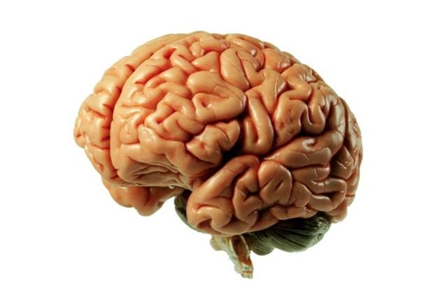 Erasístrato estudia el cerebro y diferencia éste del cerebelo.
