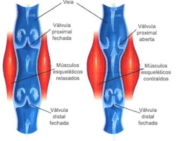 Girolamo Fabrici descubre las válvulas de las venas
