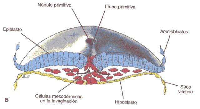 Tercer semana de desarrollo disco germinativo trilaminar GASTRULACION