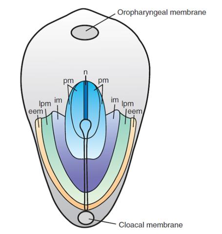 Establecimiento del mapa de destino celulares durante la gastrulación