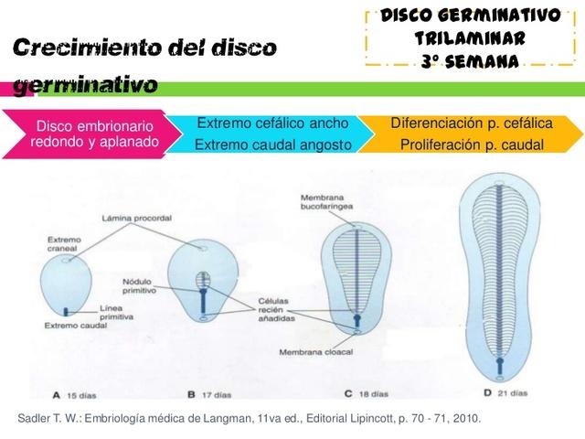 Crecimiento del disco embrionario