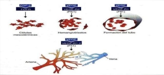 Sangre y vasos sanguineos