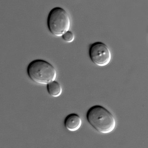 Primera secuencia de un eucariota