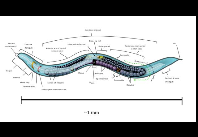 Primera secuencia eucariota pluricelular