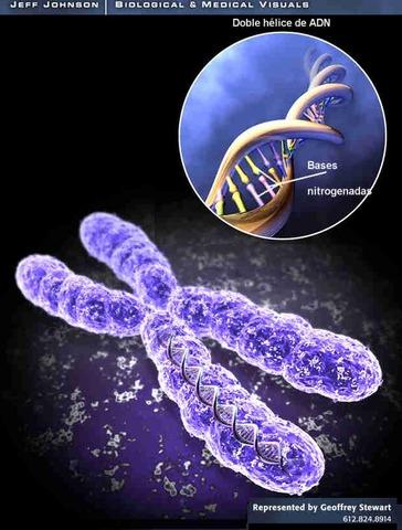 Se descubre la implicación de los cromosomas en la herencia