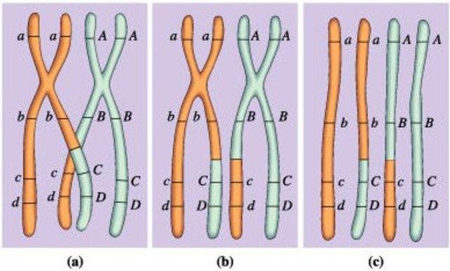 El entrecruzamiento es la causa de la recombinación