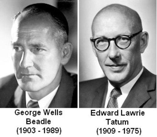 Edward Lawrie Tatum y George Wells Beadle demuestran que los genes codifican proteínas; véase el dogma central de la Genética