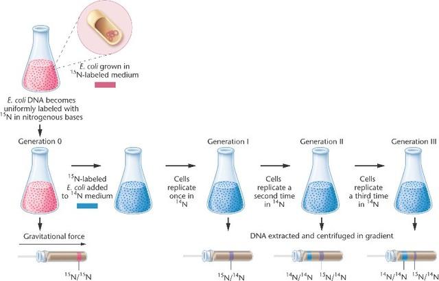 El experimento de Meselson y Stahl demuestra que la replicación del ADN essemiconservativa1961 El código genético está organizado en tripletes