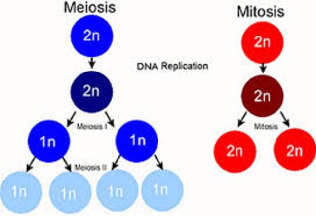 Se describen la mitosis y la meiosis