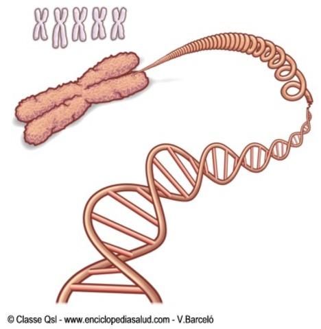 se relaciona la herencia con los cromosomas