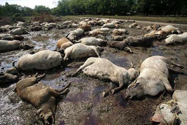 La plaga en el ganado
