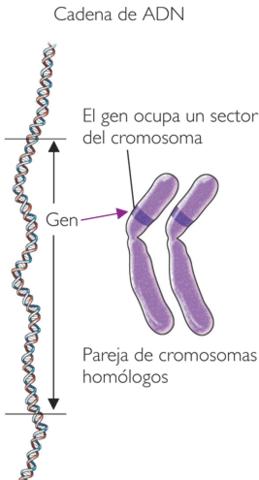 CROMOSOMAS EN LA HERENCIA
