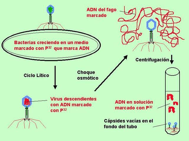 HERSHEY Y CHASE DEMUESTRAN QUE LA INFORMACIÓN GENÉTICA DE LOS FAGOS RESIDE EN EL ADN