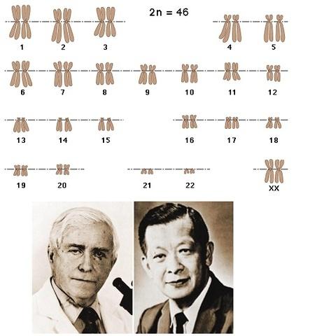 JO HIN TJIO Y ALBERT LEVAN ESTABLECEN QUE EN LOS HUMANOS EL NÚMERO DE CROMOSOMAS ES 46
