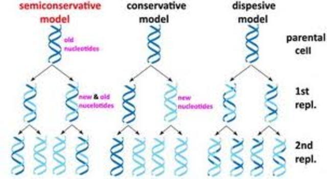 MESELSON Y STAHL DEMUESTRAN QUE LA REPLICACIÓN DEL ADN ES SEMICONSERVATIVA