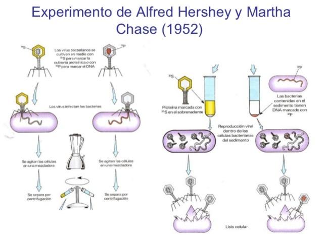 Experimento de Alfred Hershey y Martha Chase