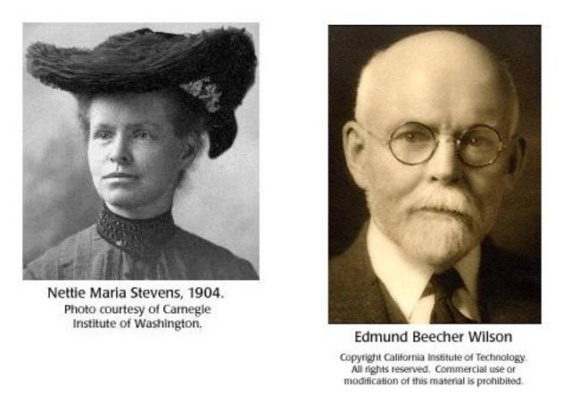 Nettie Stevens, Edmund Wilson  CROMOSONAS  X ,Y