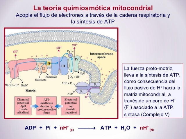 Teoría quimiosmótica
