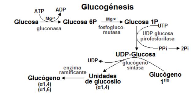 Proceso de gluconeogénesis.