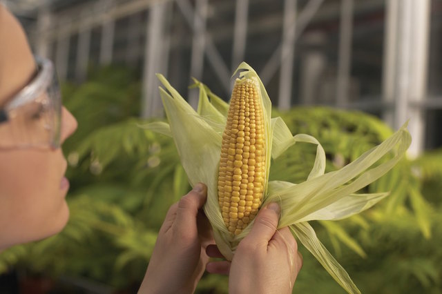 Maíz transgénico - Monsanto