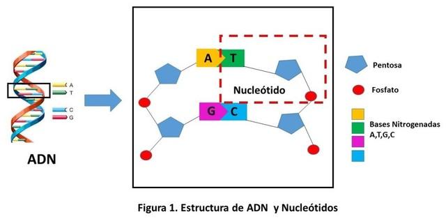 Acido Desoxirribonuicleico