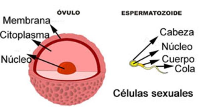Las Células Sexuales