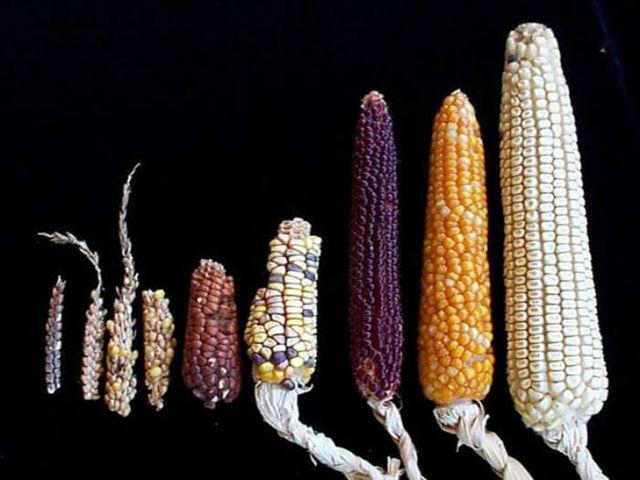 primeras modificaciones del maiz
