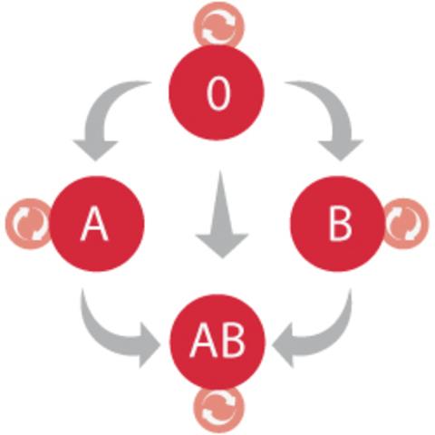 Descubren los grupos sanguíneos