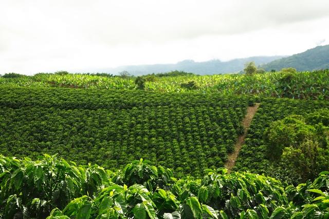 Europeans Begin to Grow Coffee