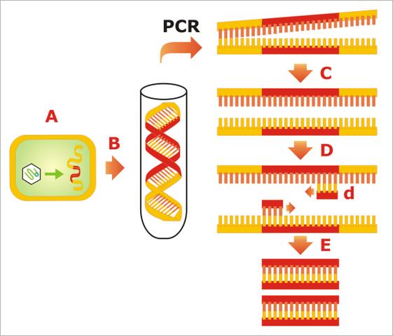 Reacción en cadena de la polimeraza (PCR)