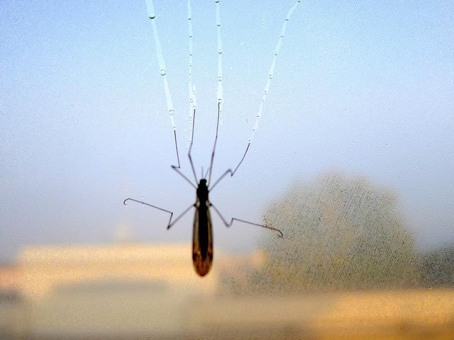 Grassi: Encuentra mosquito especifico (zanzarone)