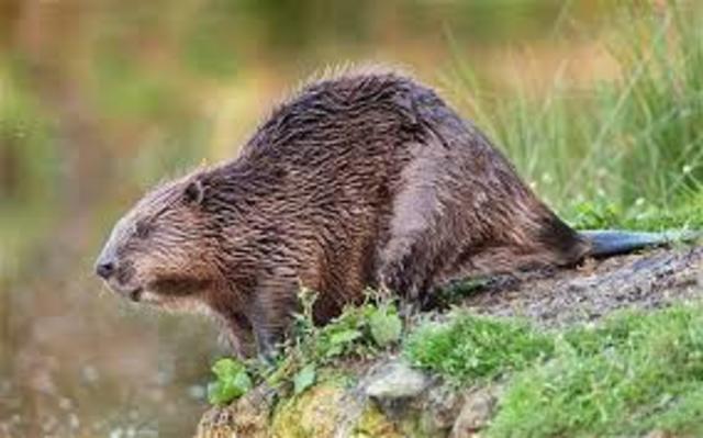 Beaver Crisis