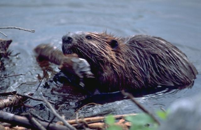 The Beaver Crisis
