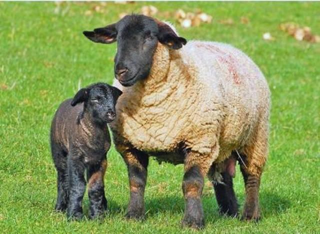 Газоны и овцы