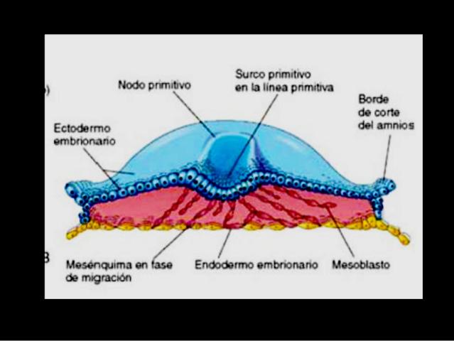 2° Semana - Placa embrionaria