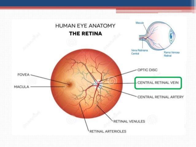 4° Mes - Arteria y la vena retiniana