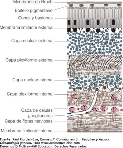 6° Semana - Capa interna de la membrana de Bruch