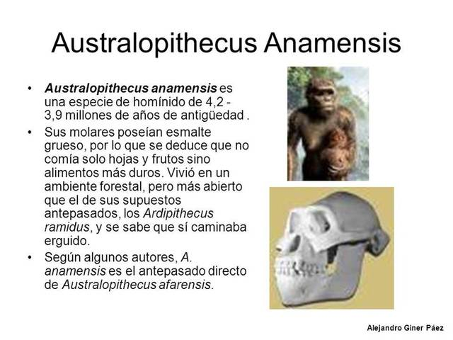 Australophitecus anamesis