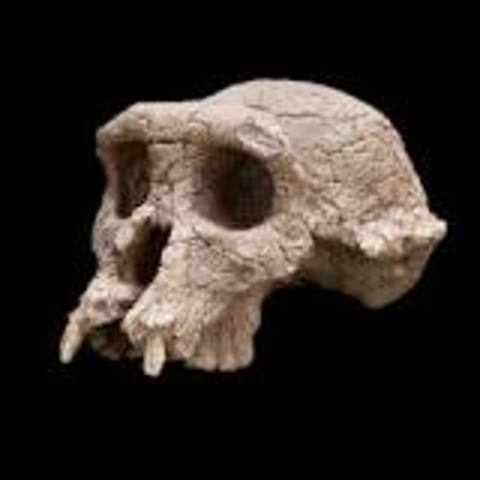 Sahelanthropus tchadensis fossil