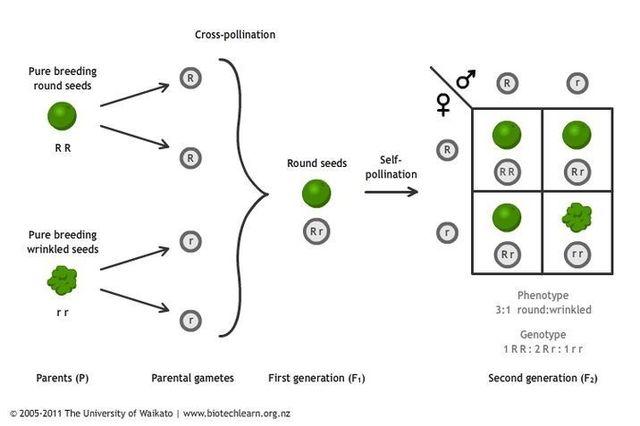 Gregor Mendel published works on inheritances of traits in pea plants