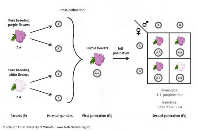 Gregor Mendel publishes works on inheritance of traits in pea plants
