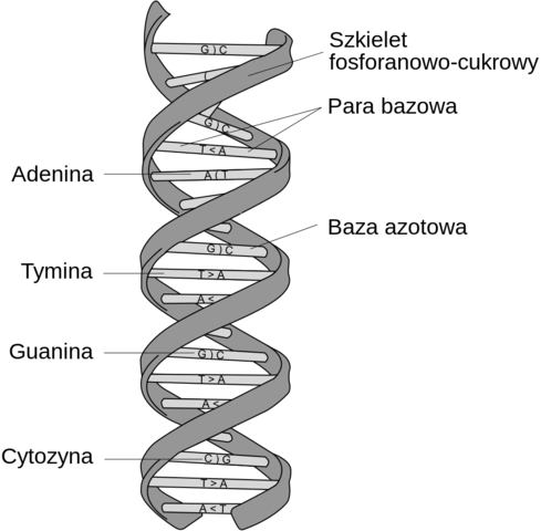 Watson and Crick discover the double helix structure