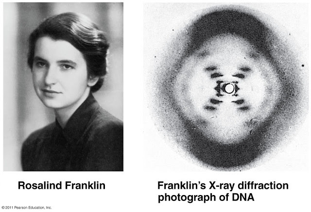 Rosalind Franklin works with DNA and X-Ray crystallography
