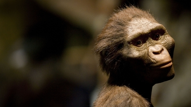 """Australopithicus afarensis nicknamed """"lucy"""" fossil discovered"""