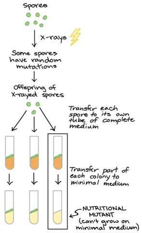 Beadle and Tatum publish the 1 gene-1 enzyme hypothesis