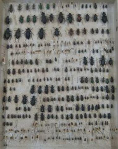 Coleccionar escarabajos