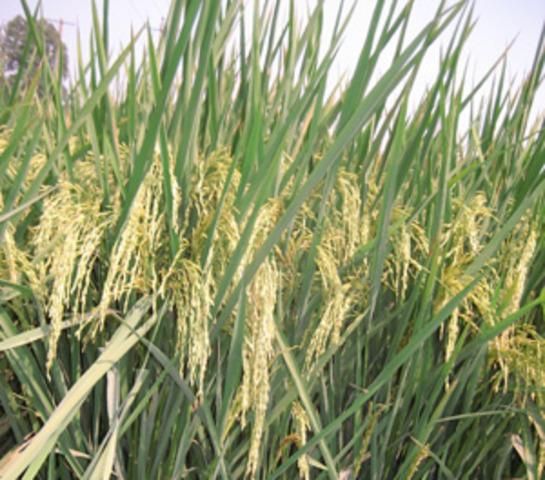 14.2: China: Fast-Ripening rice