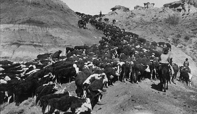 Economy: Cattle