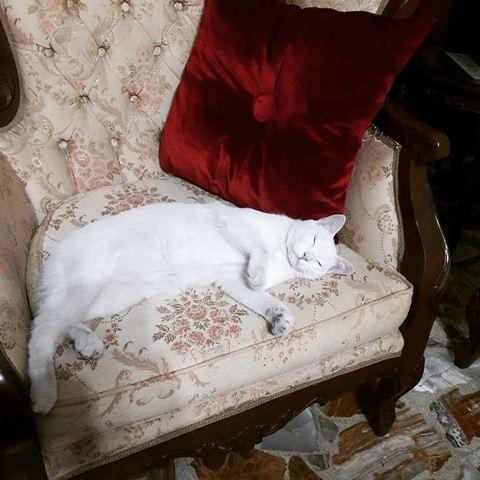 Adopción gato blanco Snow